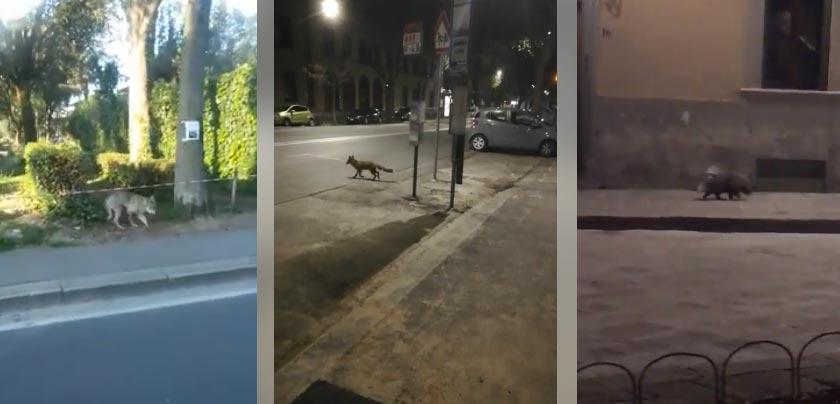 Animali in giro per le vie di Firenze: lupi, volpi, istrici. Guarda i video
