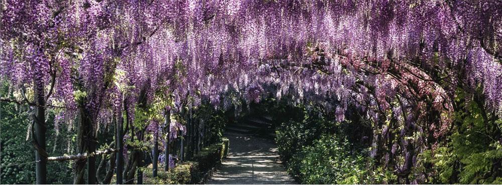 Poesie dal giardino Bardini per celebrare la massima fioritura del glicine