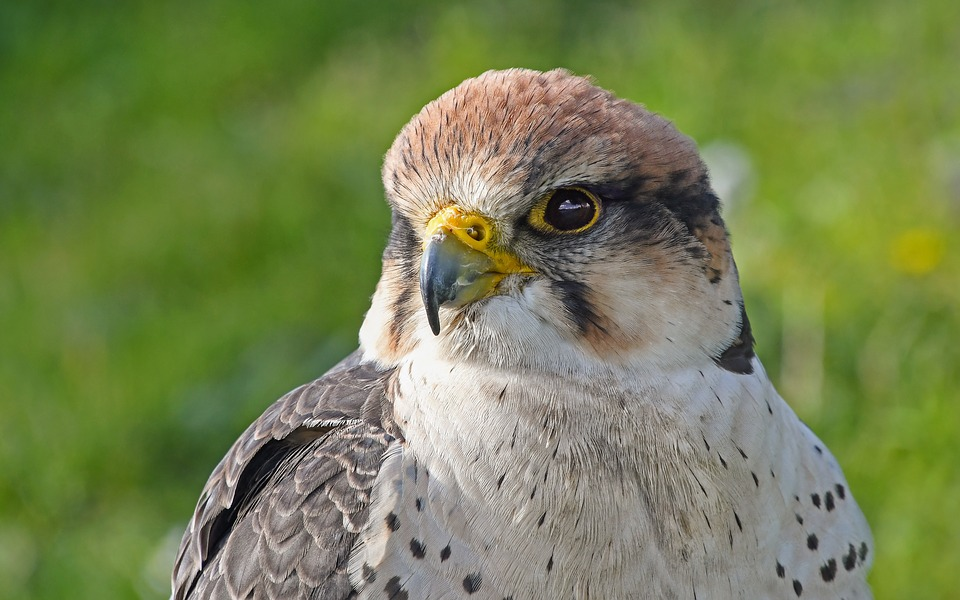 La Reggia di Caserta assume... falchi per allontanare i piccioni che danneggiano i marmi