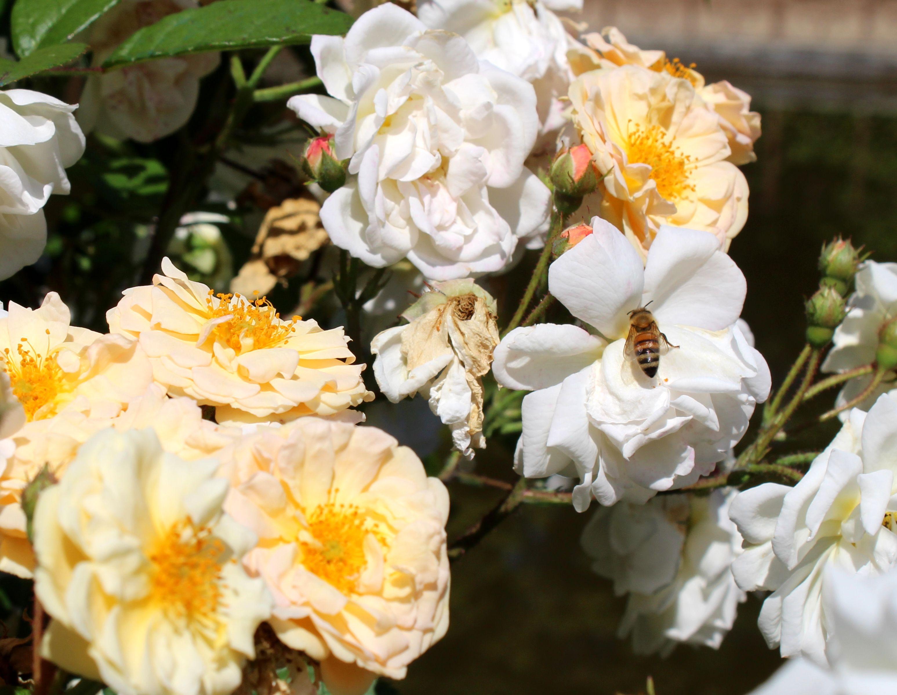 """Firenze, al Giardino di Boboli arriva uno sciame di api. Schmidt: """"un dono della natura"""""""