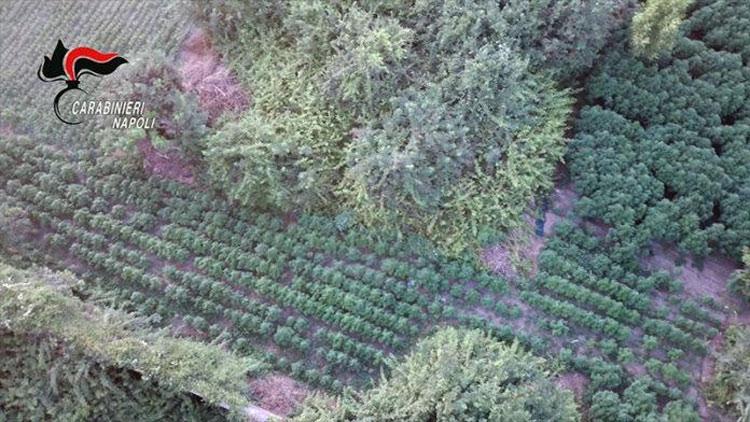 Assurdo a Pompei: scoperta una piantagione di marijuana in un'area di proprietà del Parco
