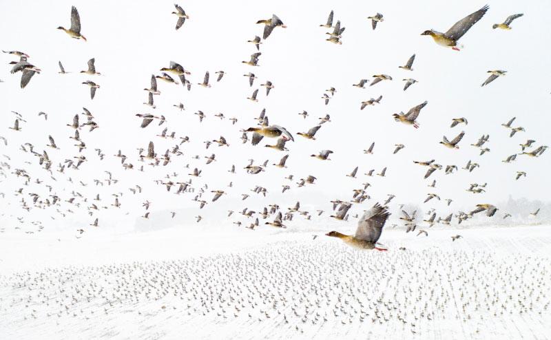 Uno stormo di oche che vola su terre innevate: dalla Norvegia lo scatto vincitore assoluto del Drone Awards 2021